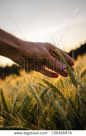 Man reaching out to touch a ripening ear of wheat in an agricultural field at sunrise in a conceptual image close up of the hand and wheat.