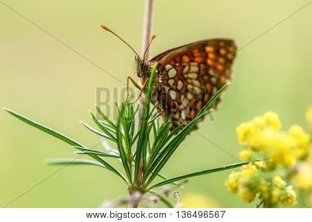 Beautiful natural background with butterfly closeup with orange spots sitting on a branch on the blurred background of green grass