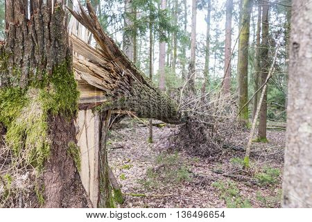 Forest tree felled in a storm lying on its side on the ground supported at one end in the air by the split and shattered remnants of the trunk.