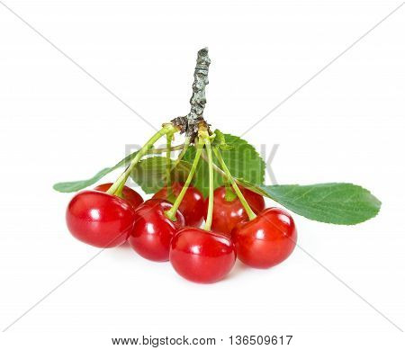 Morello cherries on branch isolated on white background.