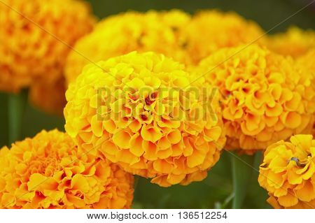 Blooming Yellow Marigold flower on green leaf.
