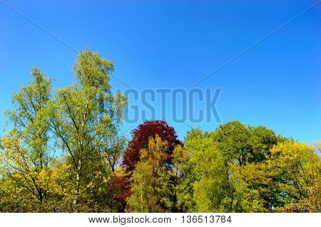 Fresh green spring woodland in a park with a view of the tops of assorted trees against a bright clear sunny blue sky with copy space