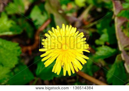 Bright yellow Taraxacum or dandelion flowering in spring or summer in a meadow viewed close up from overhead