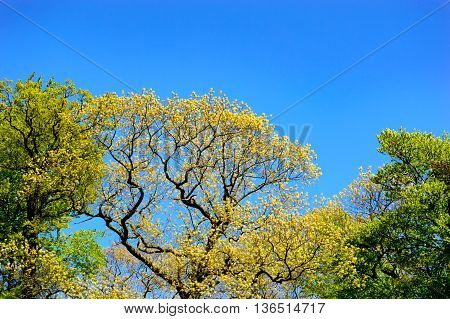 Fresh spring foliage on a tree in a park marking the changing seasons with a view of the tree canopy against a clear sunny blue sky