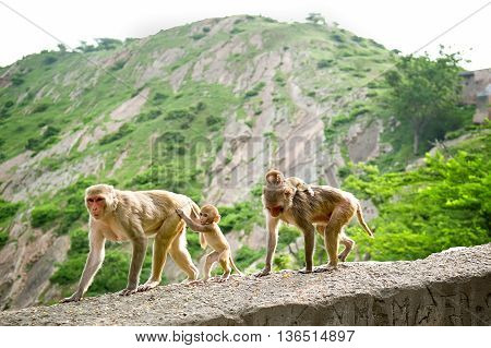 Monkeys with cubs. Galwar Bagh Monkey Temple Jaipur India