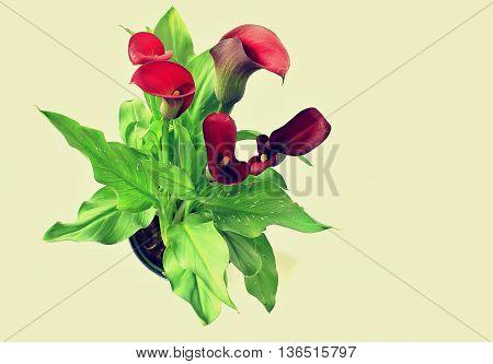 Flower Calla Zantedeschia Rehmanii with white background