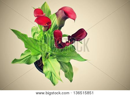 Flower Calla Zantedeschia Rehmanii with white background