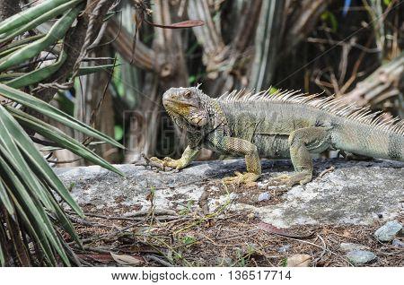 A wild iguana on St. John island.