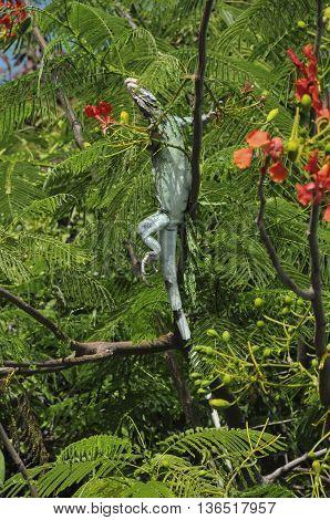 An iguana climbing on a tree on St. John island.