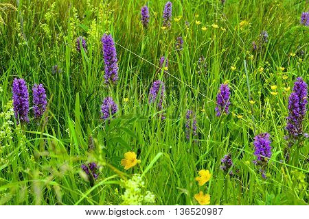 Blooming of wild Spotted Orchids (Orchis maculate). Purple wild orchid flowers on a meadow of West Siberian in Russia.