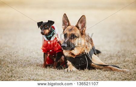 Brown German Sheepdog And Black Miniature Pinscher  Pincher Laying Together On Dry Grass. Autumn