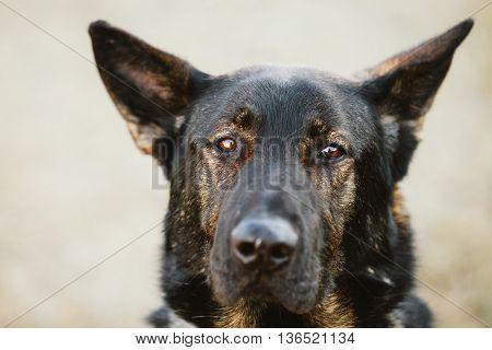 German Shepherd Dog Close Up Portrait. Alsatian Wolf Dog. Deutscher Dog