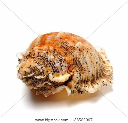 Shell Of Frog Snail (bursa Bubo)