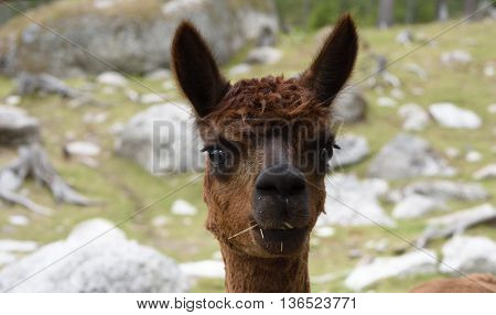 Head of a brown Alpaca (Vicugna pacos) in a park in the North of Sweden.