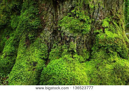 a picture of an exterior Pacific Northwest old growth maple tree trunk with moss