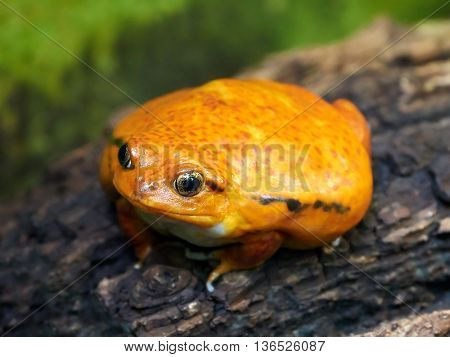 Sambava tomato frog (Dyscophus guineti) sitting on a tree trunk in its habitat