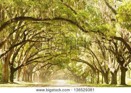 Large oak trees over a dirt road in Georgia.