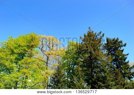 Fresh green spring trees with new seasonal foliage against a sunny blue sky together with coniferous evergreens in a rural park