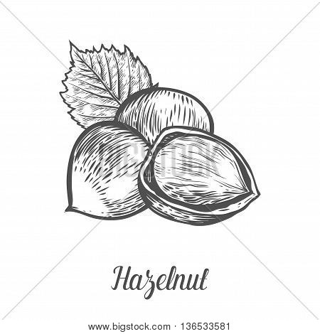 Hazelnut Nut Seed Vector. Isolated On White Background. Hazelnut Butter Food Ingredient. Engraved Ha