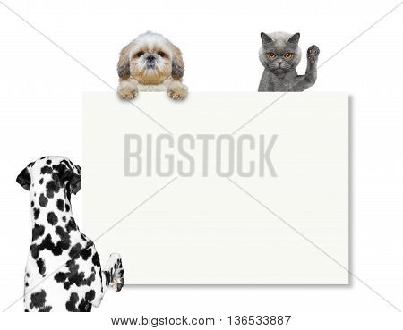 dog looks at the frame or blank -- isolated on white background
