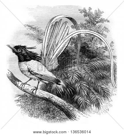 Flycatcher of paradise, vintage engraved illustration. Magasin Pittoresque 1861.