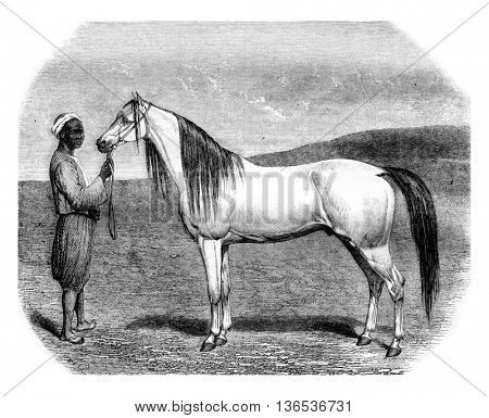 Arab horse, vintage engraved illustration. Magasin Pittoresque 1861.