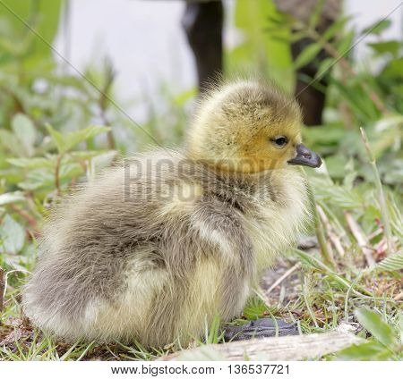 Cute canada goose baby and the mother behind