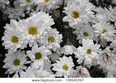 Group of white chrysanthemums closeup. Flowers and gardens