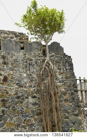 A lone tree with half its roots hanging over the edge of the ruins of a sugar mill on St. John island in the Caribbean.