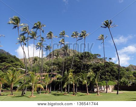 Grass field Coconut and other trees in park with Diamondhead Crater in the background at Leahi Beach Park on Oahu Hawaii on a beautiful day. December 4 2015.