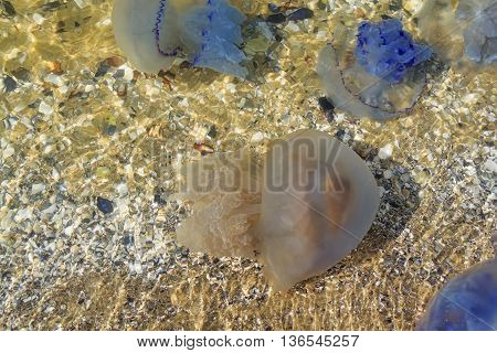 Sea. Medusa Near The Shore