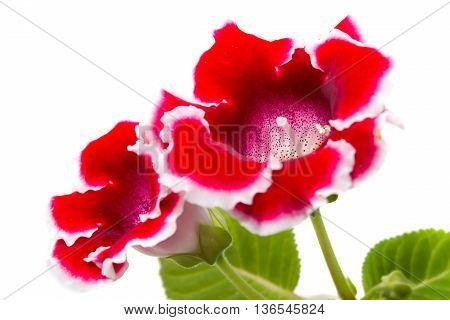 Blooming Gloxinia (sinningia Speciosa)