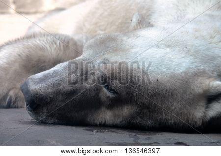 A sleeping polar bear on the rock