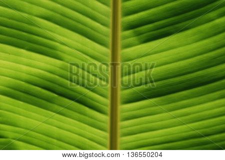 Green Tropical Leaf Close-up Texture for Background