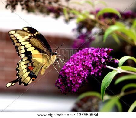 A Beautiful Swallowtail Butterfly standing on a flower