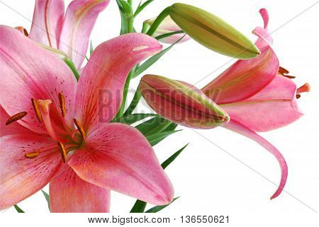 Pink Lily Bouquet Isolated on White Background