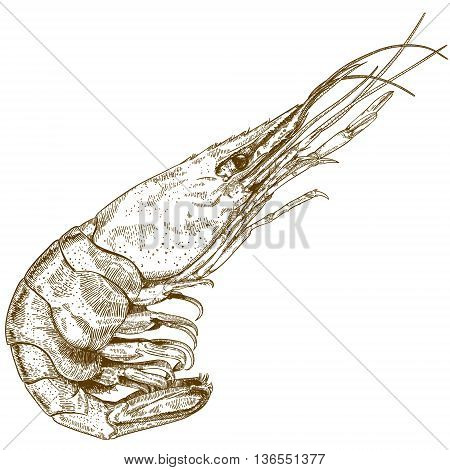 Vector engraving illustration of hand drawn shrimp isolated on white background