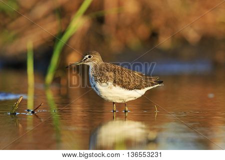 Green sandpiper in the morning sun, bird standing in water