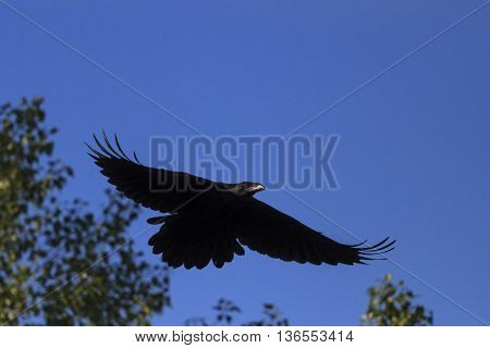 raven flying with open wings, black feathers, crows