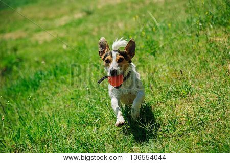small dog breed Jack Russell Terrier plays with a bright ball on the grass