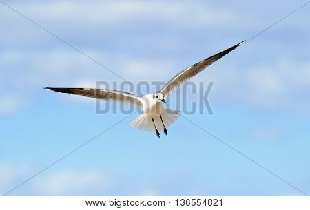 Bird flying is a beautiful seagull spreading its wings and soaring against a vibrant blue sky.