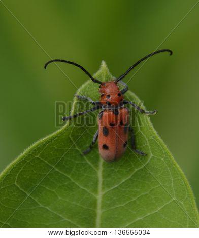 A Milkweed Longhorn Beetle, Tetraopes Tetrophalmus, climbing a leaf of the milkweed plant.