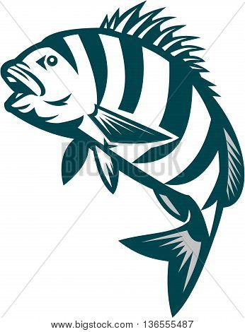 Illustration of a sheepshead (Archosargus probatocephalus) a marine fish jumping up set on isolated white background done in retro style.
