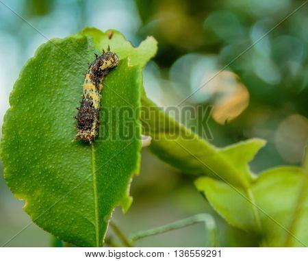 Black worm on the leaves lemon in garden