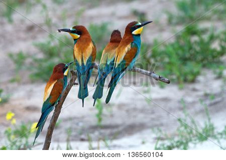 Group of European bee-eater or Merops apiaster is sitting on a twig