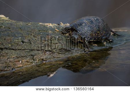European pond turtle or Emys orbicularis on a log in pond