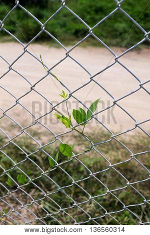 Creeping plant climbs up to the iron fence in front of blurry backgroung.