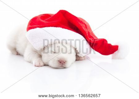 White Siberian husky puppy in Santa Claus xmas red hat on white background isolted