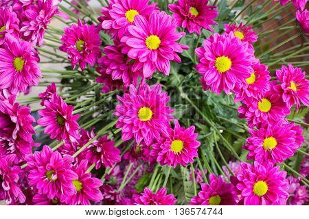 Small Chrysanthemum Pink