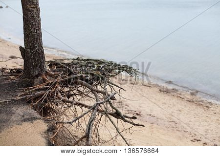 Pine tree roots floating in the air